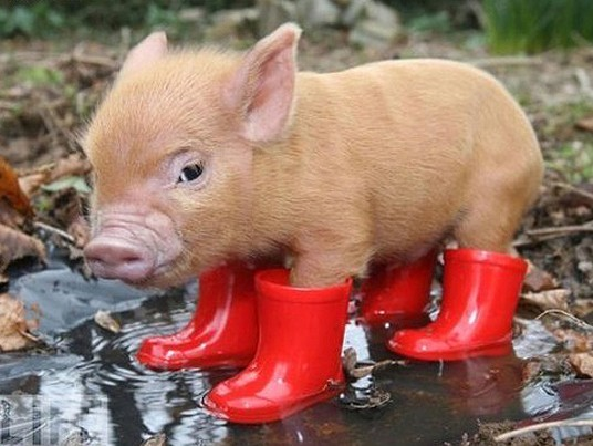 cute pig in boots